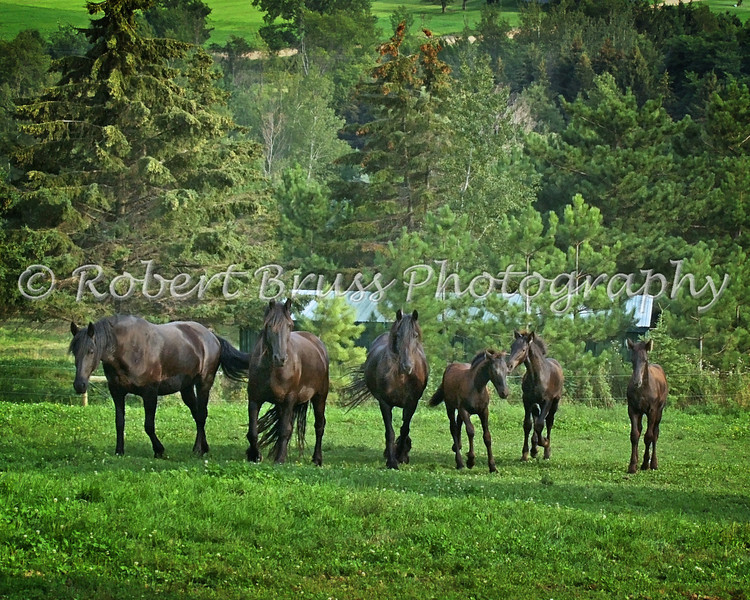 Friesian Mares and Foals