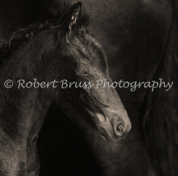 Resting at Mother's Side - Friesian Foal
