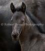 Geesje - Friesian Foal Perfection