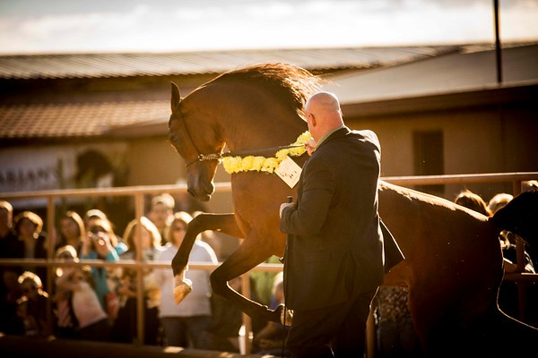 McDonald Arabians Open Barn 2015