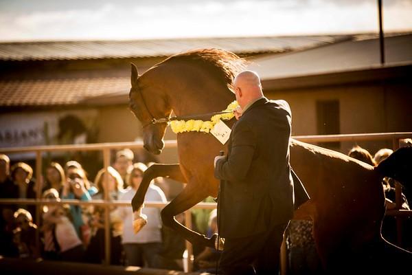 McDonald Arabians Open Barn 2015