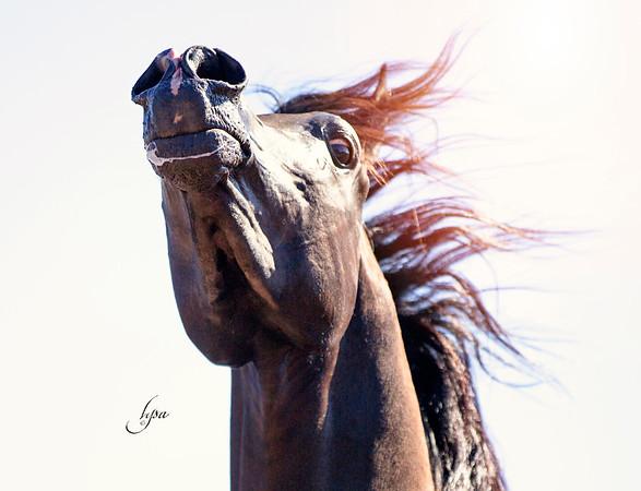 Midwest Arabians 2015