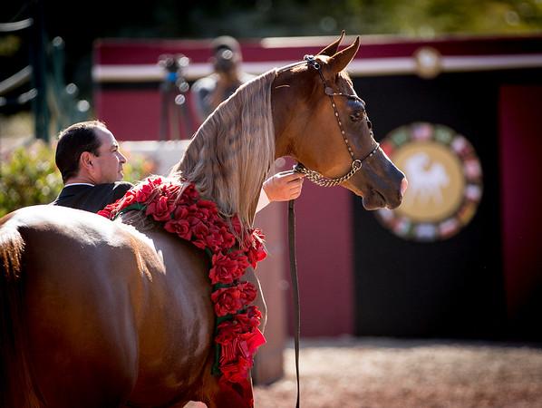 Midwest Arabians Open Barn 2015