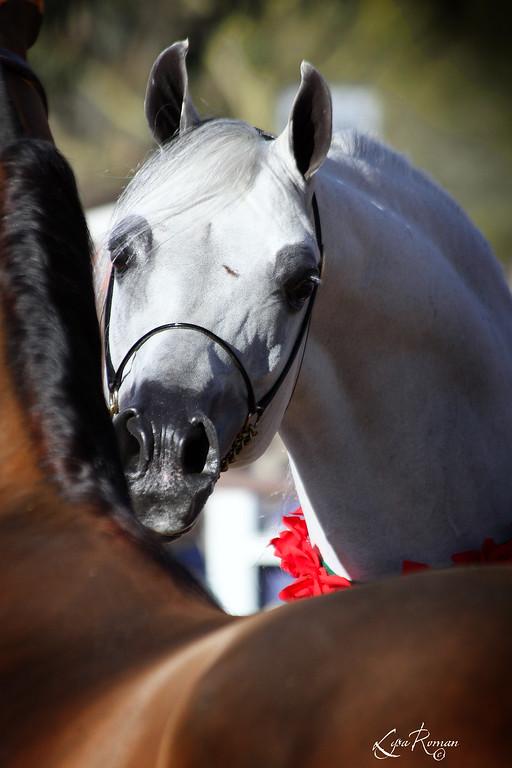 O'Neill Arabians Open Barn 2010