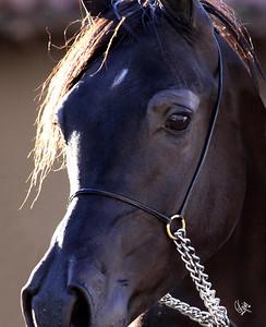 Pomeroy Arabians Open Barn (Enzo Colt)
