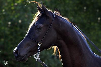 Pomeroy Arabians Open Barn