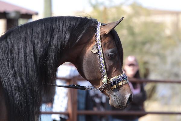 Stonewall Arabians 2011 (SBT)