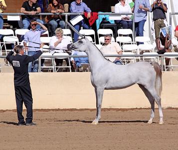 Grey mare (2yrs) Felicia RLC (Shael Dream Desert X Camelia K)