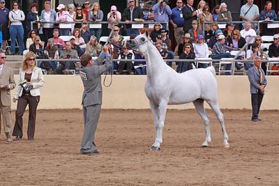 Grey stallion Audaciuos PS (Fame VF X HAL Flirtatious)