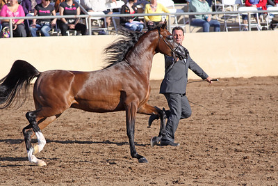 bay stallion (2yrs) Vegas DPA (EF Kingston X Angelina DPA)
