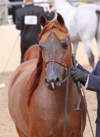 Chestnut stallion LD Pistal ( (Magnum Psyche x Halana)