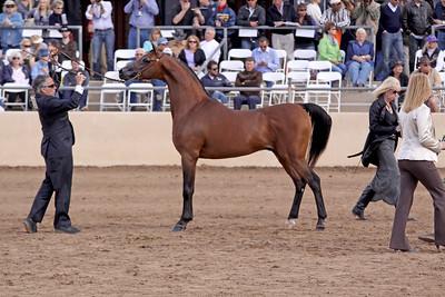 Bay stallion EKS Bey El Gazal (Marwan X Starbright Bey)