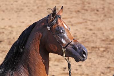 bay stallion (3yrs) PCF Vision (Marwan X Eronica GA)