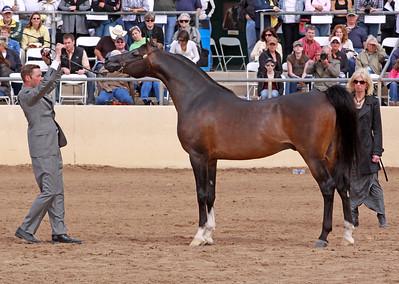 Bay Stallion Mazkarade (Dakar el Jamaal X Majalis)