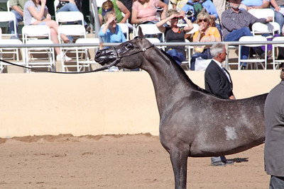 Grey mare (2 yrs) WR Love Affair (Magnum Chall X Major Love Affair)