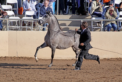 grey stallion (3yrs) Magnosabi (Ames Charisma X Iim So Sheik)