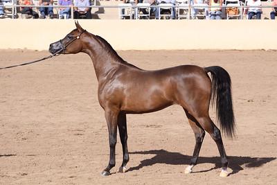 Bay mare (2yrs) Raherra (*Rahere X Dyna HCF)