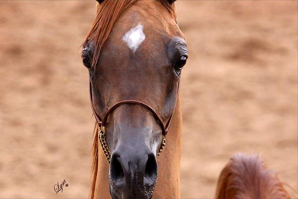 Scottsdale Arabian Horse Show 2009