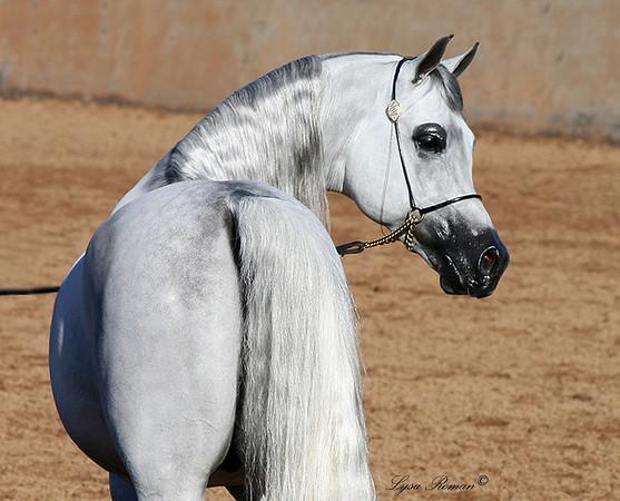 Scottsdale Arabian Horse Show 2008