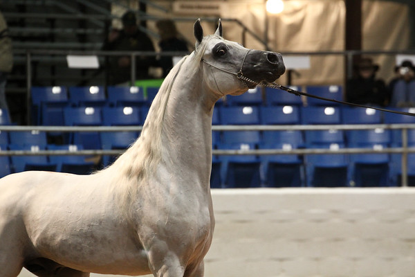 International Colts and Stallions
