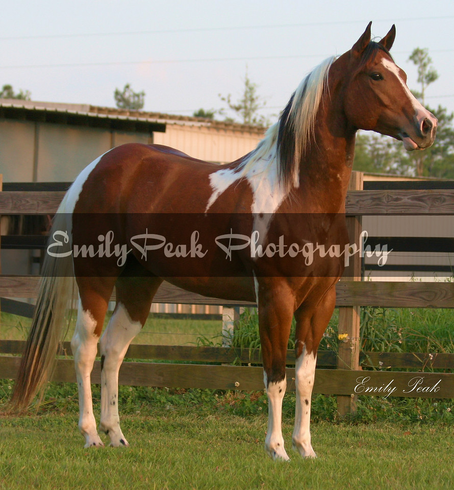 2005 APHA Gelding<br /> Sharp Shootin Peppy