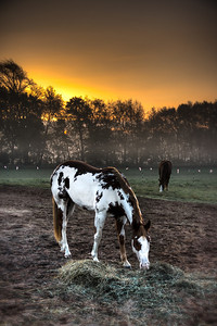 Paint Horse Before Dawn