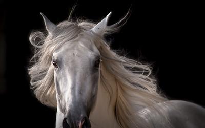Pendragon ~ Lusitano Stallion