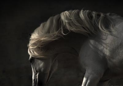 ZORRO, Lusitano Stallion