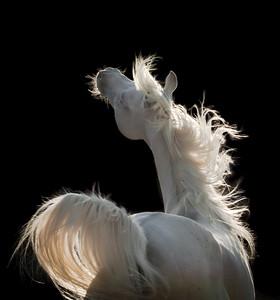 Arab Barb Stallion