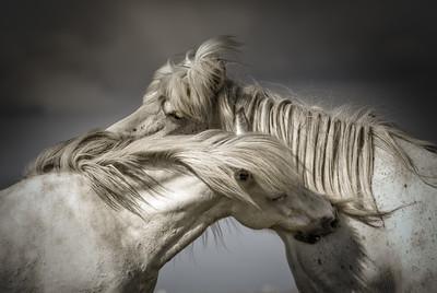 Rare Wild Icelandic Horses