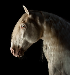 Chenel ~ Show Horse