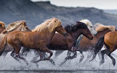 Icelandic horses running across the Hop Lake
