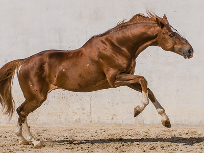 Lusitano Chestnut Stallion