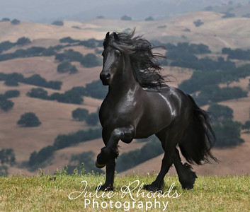 friesian_am3