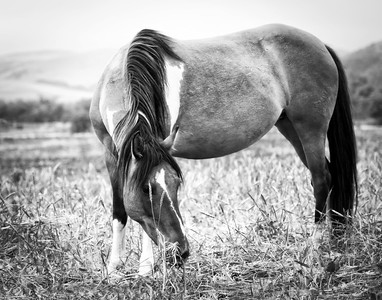 Mare In Field B&W