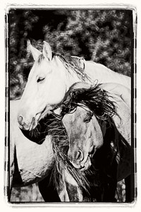 Chief and one of his mares.