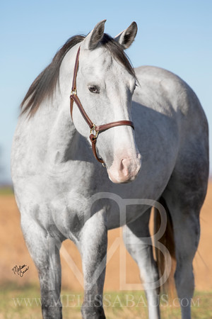 Gray APHA - Spencer