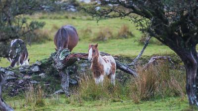 Dartmoor Pony - Dartmoor - Devon (October 2020)