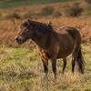 Exmoor Pony - Exmoor - Somerset (October 2020)