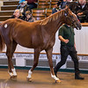 Lot 60 - A Chestnut Colt by Daiwa Major (JPN) out of Ravarino (USA) in 2017