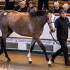 Lot 61 - A Grey Filly by Dark Angel (IRE) out of Real Sense (IRE) in 2017