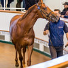 Lot 35 - A Chestnut Colt by Australia (GB) out of Pivotalia (IRE) in 2017