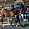 Lot 17 - A Bay Filly by Frankel (GB) out of Nouriya (GB) in 2017