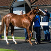 Lot 4 - A Chestnut Colt by Australia (GB) out of Natty Bumppo (IRE) in 2017