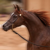 131228_Arizona_Arabians-549-2