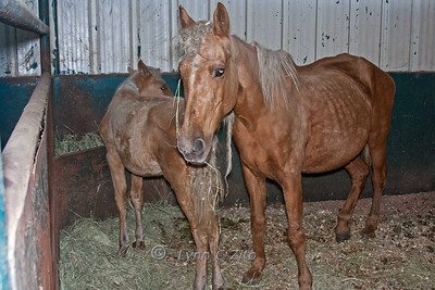 This Lady was VERY protective of her poor, emaciated colt.  They were both knocking on death's door at the time of the rescue.  'Mom' has been adopted and her little boy has had special shoes put on, is rehabbing, gelded, and ready for a new home!  He is very sweet and quiet.