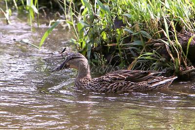 Aa Mallard duck_0028