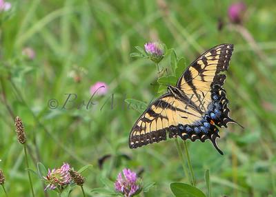 AA Swallowtail_4035