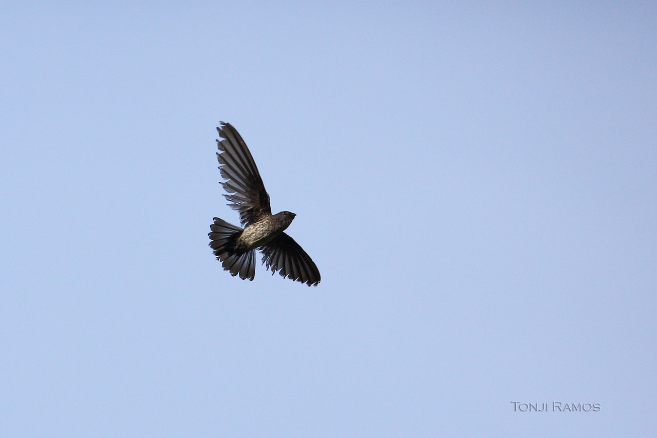 Another example of a Glossy Swiftlet in flight. I have never been able to take these guys before. I was thinking of getting a 1dmk4 as my bird in flight camera. Now I think the 5dmk3 is more than up to the challenge. This is probably one of the more difficult birds to take in flight and it did it quite effortlessly and with a zoom lens and not a prime.<br /> <br /> I have never seen the feather detail of a flying Glossy Swiftlet in any of my pictures until now.