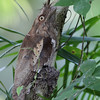 PHILIPPINE FROGMOUTH<br /> <br /> Speed is 1/15
